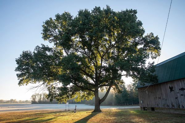 A large tree with sun rays shining through it's leaves next to a barn with a green roof.